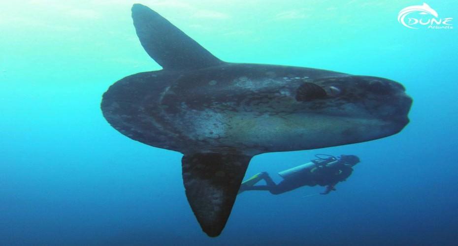 Code Of Conduct For MolaMola Interaction | Atlantis Bali Diving