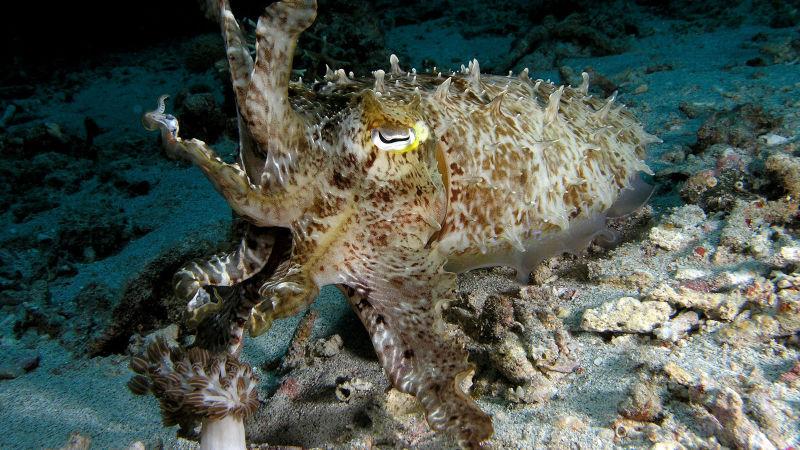Cuttlefish | Atlantis Bali Diving
