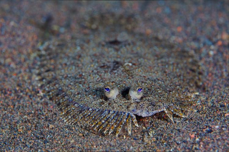 Flatfish | Atlantis Bali Diving