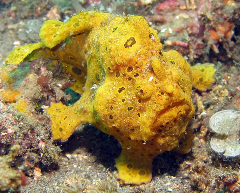 Frogfish | Atlantis Bali Diving