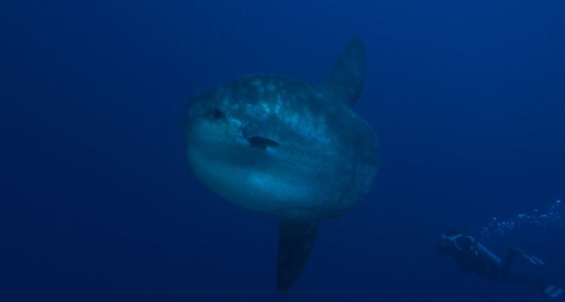 Mola mola Nusa Penida | Atlantis Bali Diving