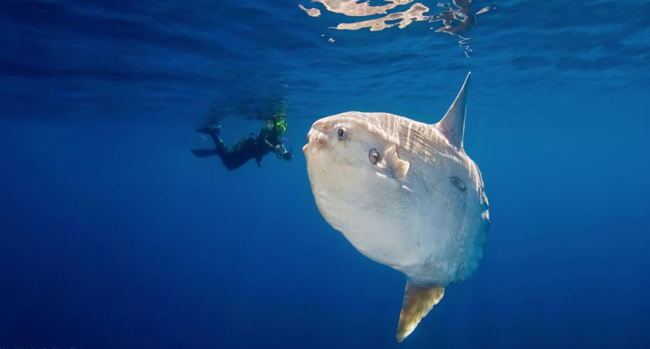 The Mola Mola (Sunfish) is a very unique looking fish | Atlantis Bali Diving