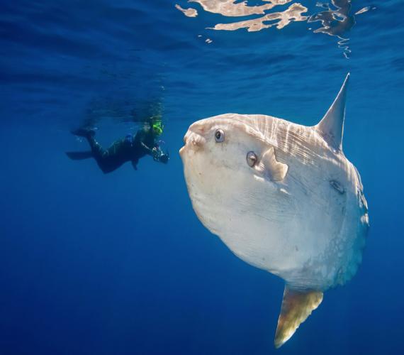 The Mola Mola (Sunfish)   Atlantis Bali Diving