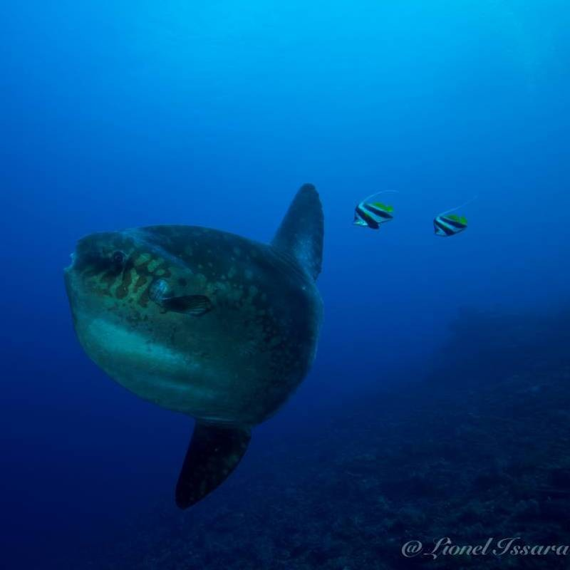 Mola mola and other fish | Atlantis Bali Diving