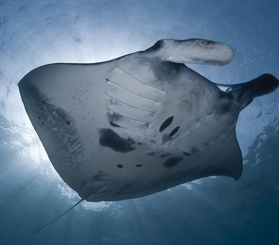 Manta Rays   Atlantis Bali Diving