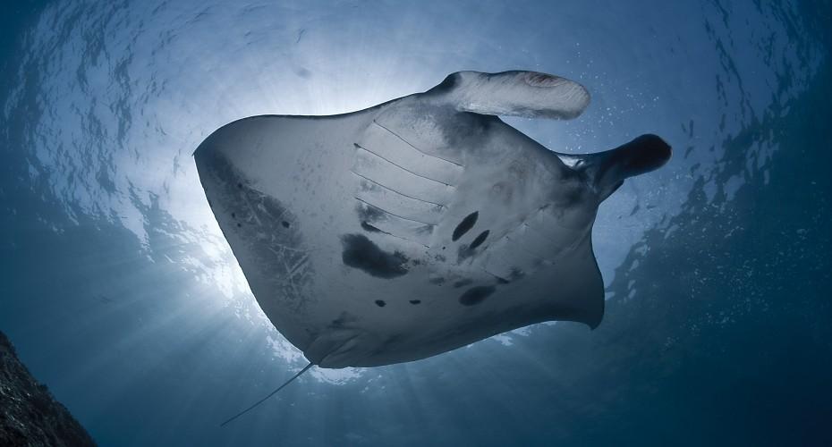Manta Rays | Atlantis Bali Diving