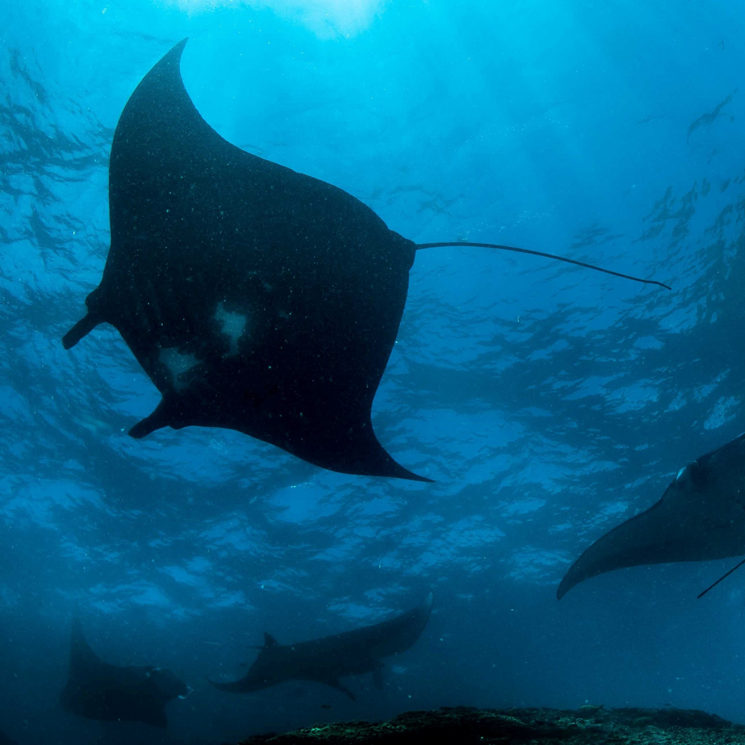 Sunfish | Atlantis Bali Diving