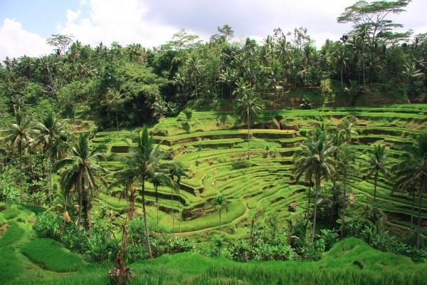 Tegallalang Terrace Rice Fields | Atlantis Bali Diving